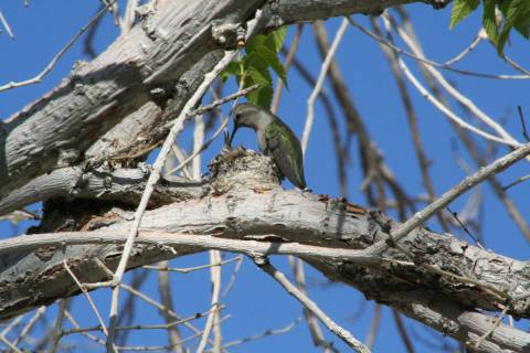 (Deborah Wall) A female hummingbird feeds her young. Female hummingbirds lay two eggs and incub ...