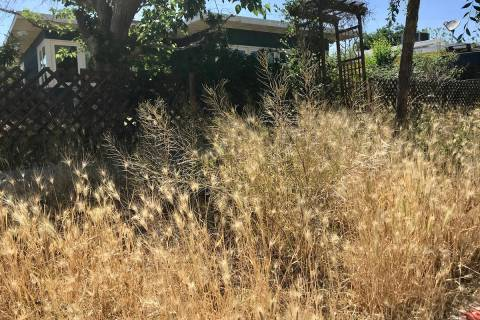 (Norma Vally) Favorable weather conditions have caused a weeds to proliferate in neighborhoods. ...