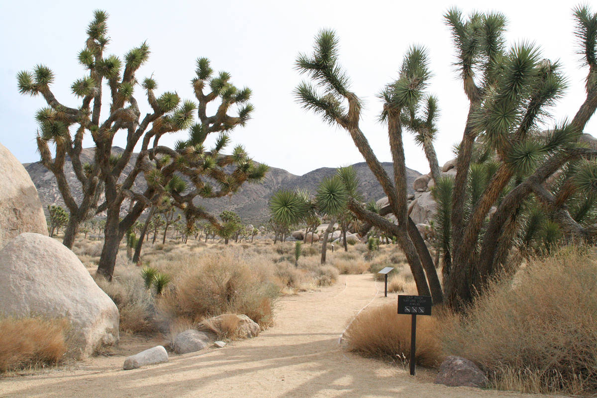 (Deborah Wall) The Cap Rock Nature Trail in Joshua Tree National Park, California, takes you pa ...