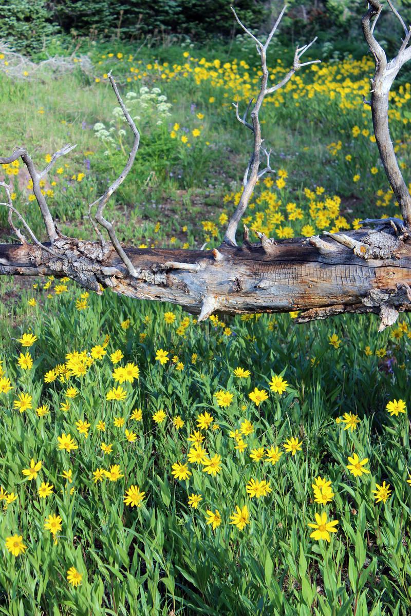 (Deborah Wall) Little sunflowers carpet the base of dense conifer forests at Cedar Breaks Natio ...