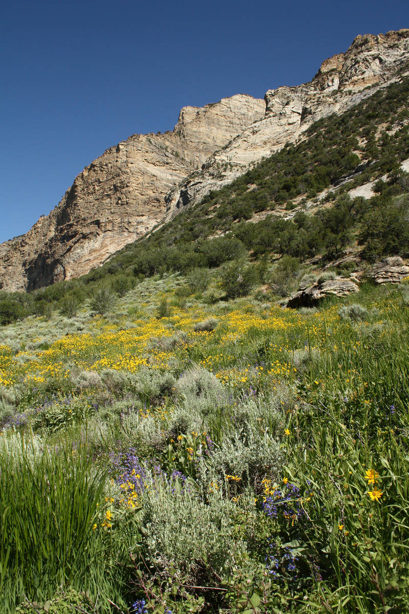(Deborah Wall) Wildflowers carpet the meadows in the Ruby Mountains in Northern Nevada during t ...