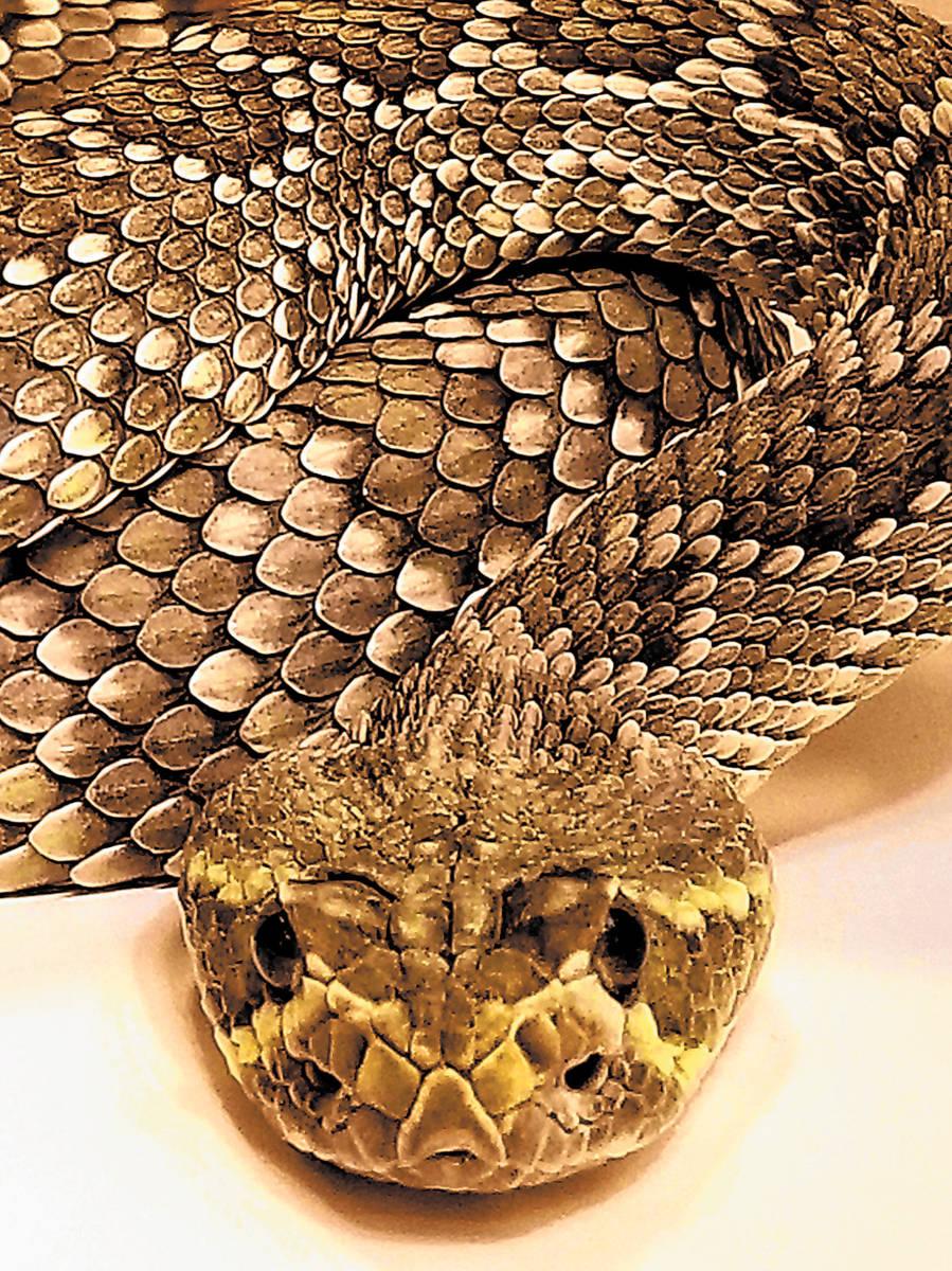 (Natalie Burt) A Mojave green rattlesnake has the most potent venom of any rattlesnake in the N ...