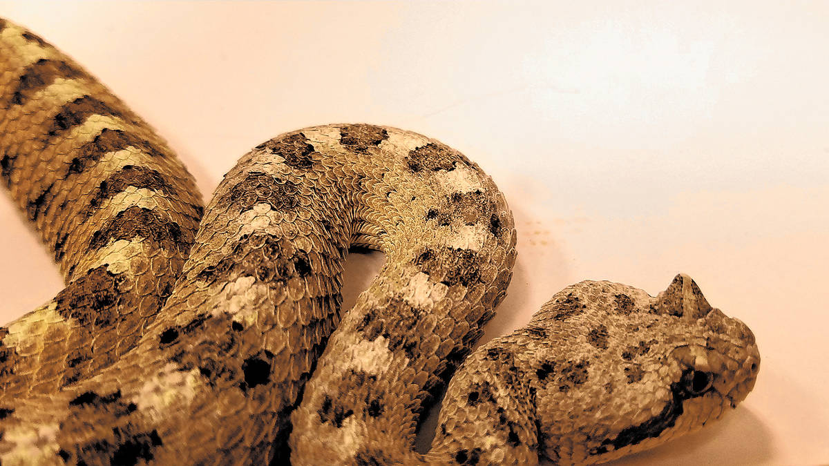 (Natalie Burt) A sidewinder rattlesnake was brought to REI in a portable, secured terrarium for ...