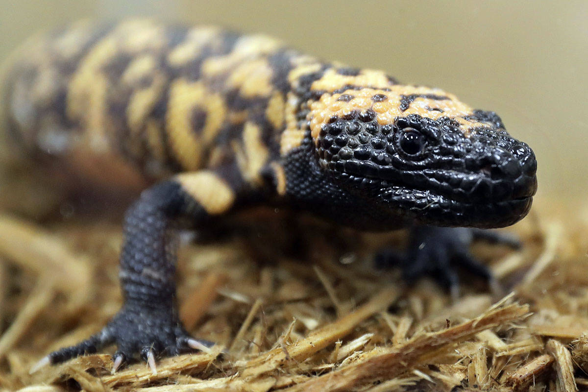 Ted S. Warren/AP Photo) A Gila monster, seen at the Woodland Park Zoo in Seattle, is a venomous ...