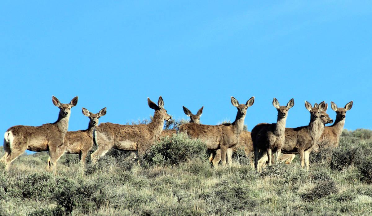 Deborah Wall Besides pronghorns, mule deer can be seen at Sheldon National Wildlife Refuge.