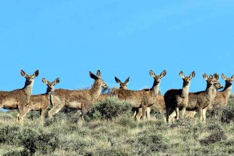 Deborah Wall Besides pronghorns, mule deer can be seen at Sheldon National Wildlife Refuge.