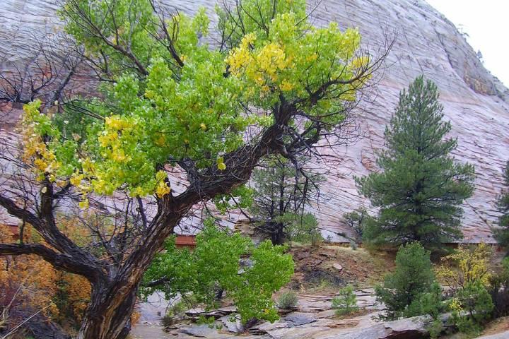 (Deborah Wall) Peak fall foliage in the main area of Zion National Park in Utah usually runs fr ...