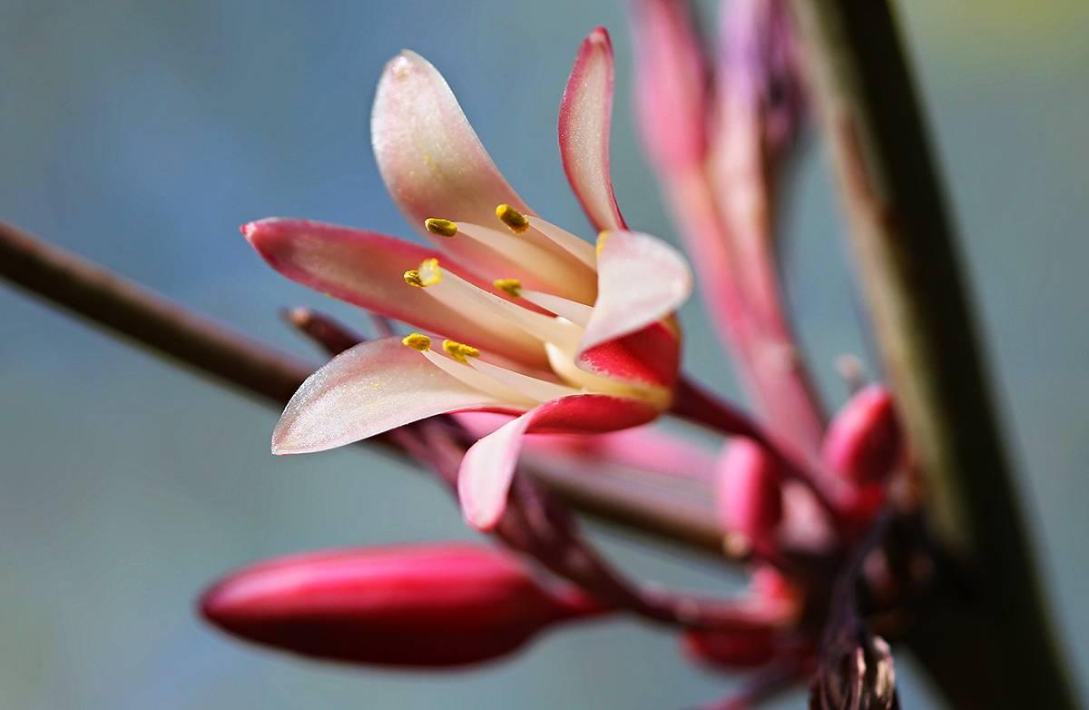 False yucca. (Springs Preserve)