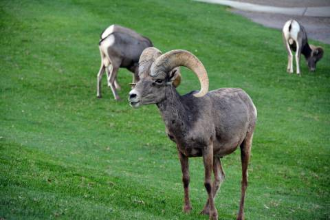 Celia Shortt Goodyear/Boulder City Review The bighorn sheep at Hemenway Valley Park, 401 Ville ...