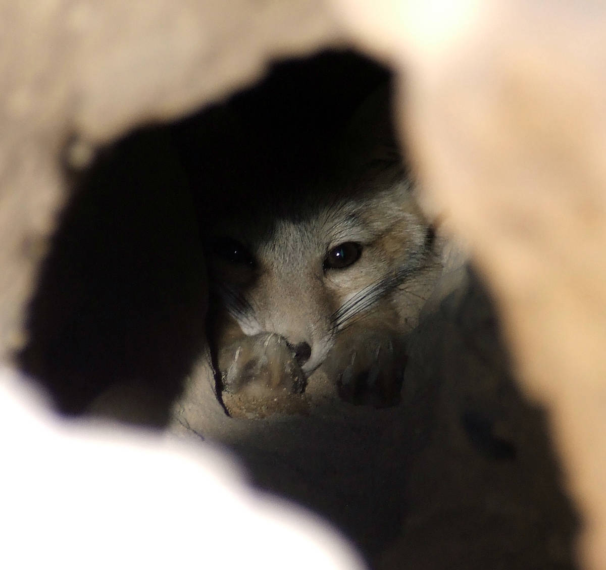Get Biological A kit fox hunkers down in a den at a desert construction site.