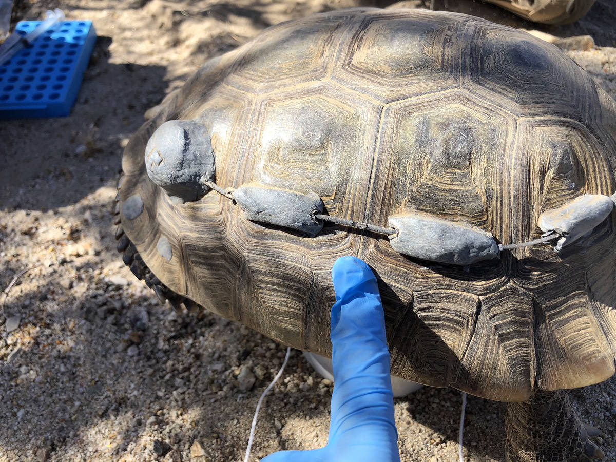 Get Biological A desert tortoise is prepared for a health assessment and transmitter repair by ...