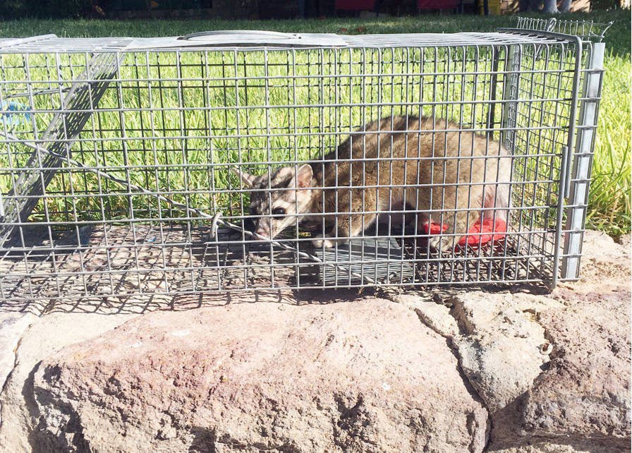 (Michael Nix) Michael Nix had an unexpected visitor at his Boulder City home: a ringtail. After ...
