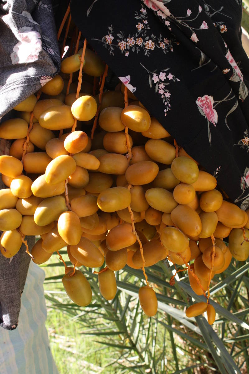 (Deborah Wall) The dates at China Ranch Date Farm in Tecopa, Califonria, are harvested from Sep ...