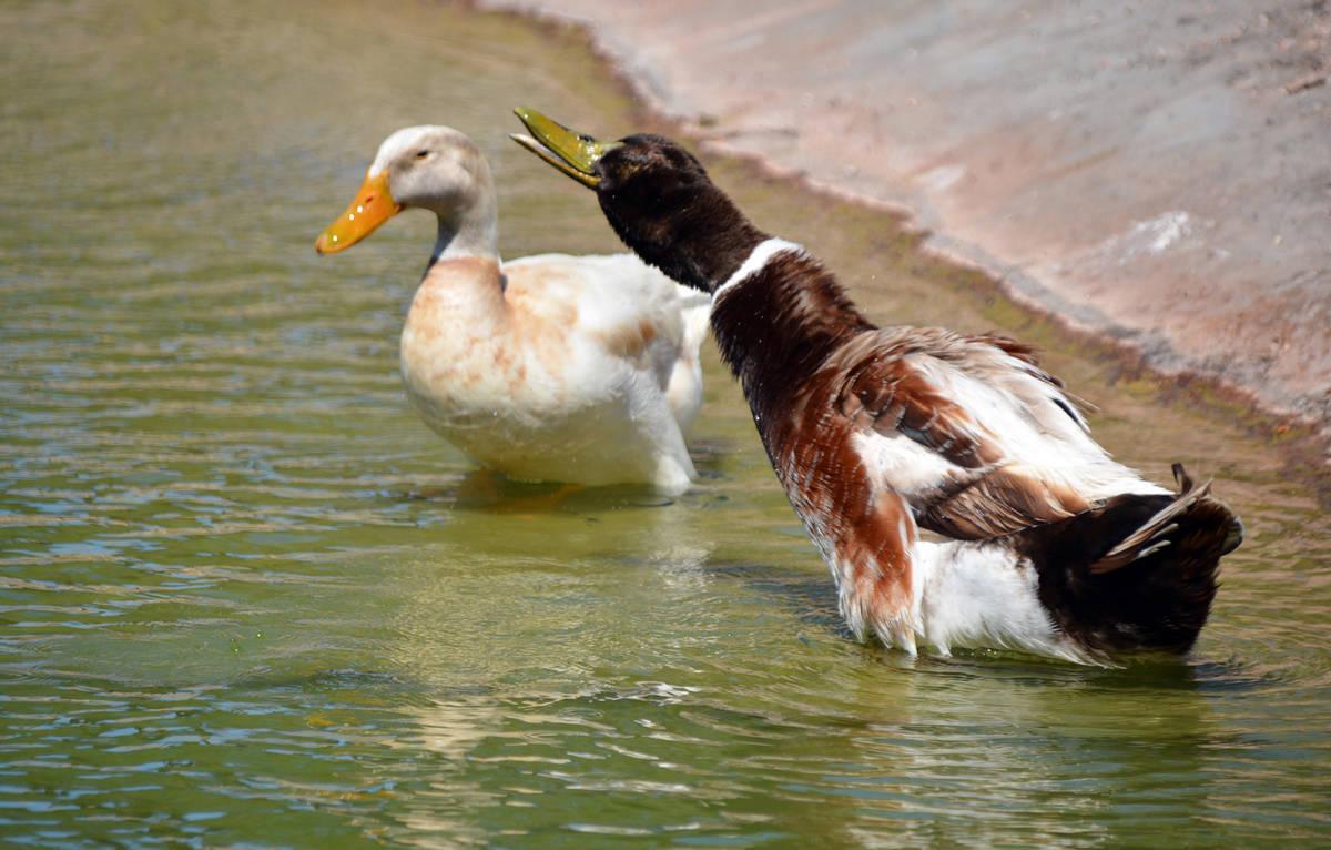 Celia Shortt Goodyear/Boulder City Review Two ducks took advantage of fewer people visiting Vet ...