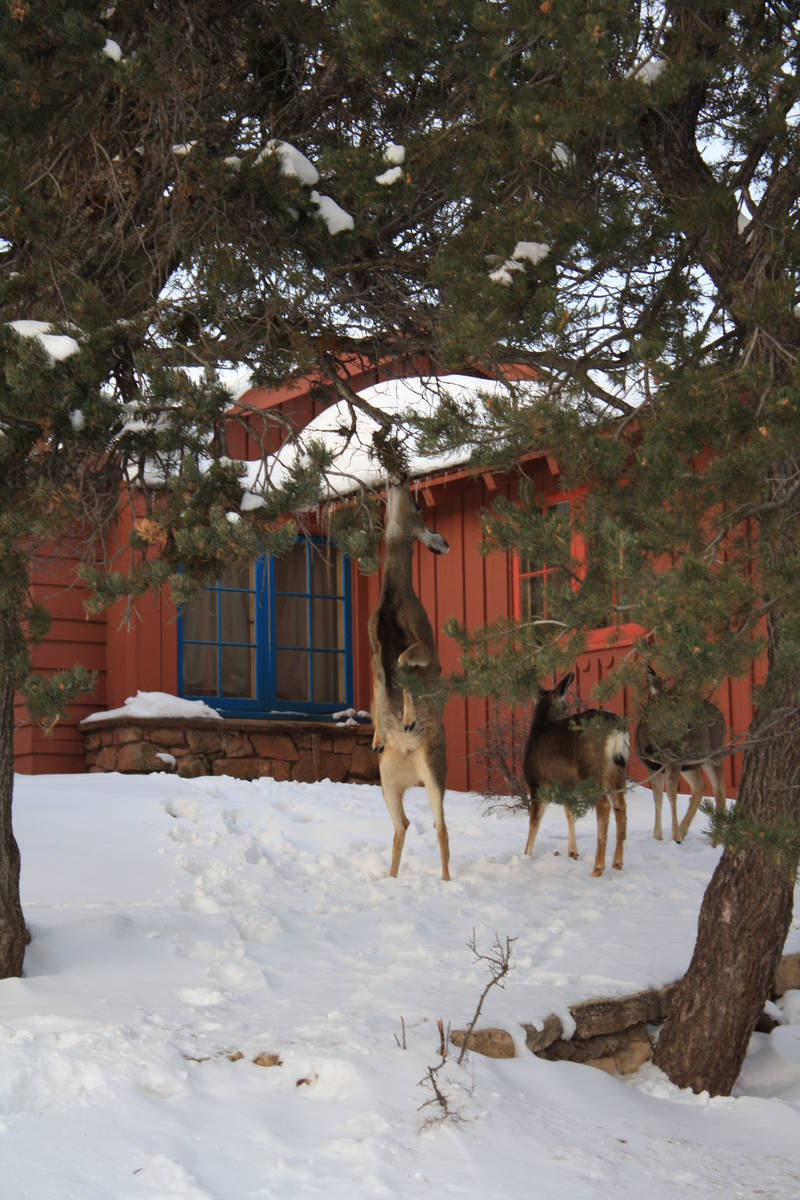(Deborah Wall) A doe stands on its hind legs to reach some greenery behind a cabin at Bright An ...