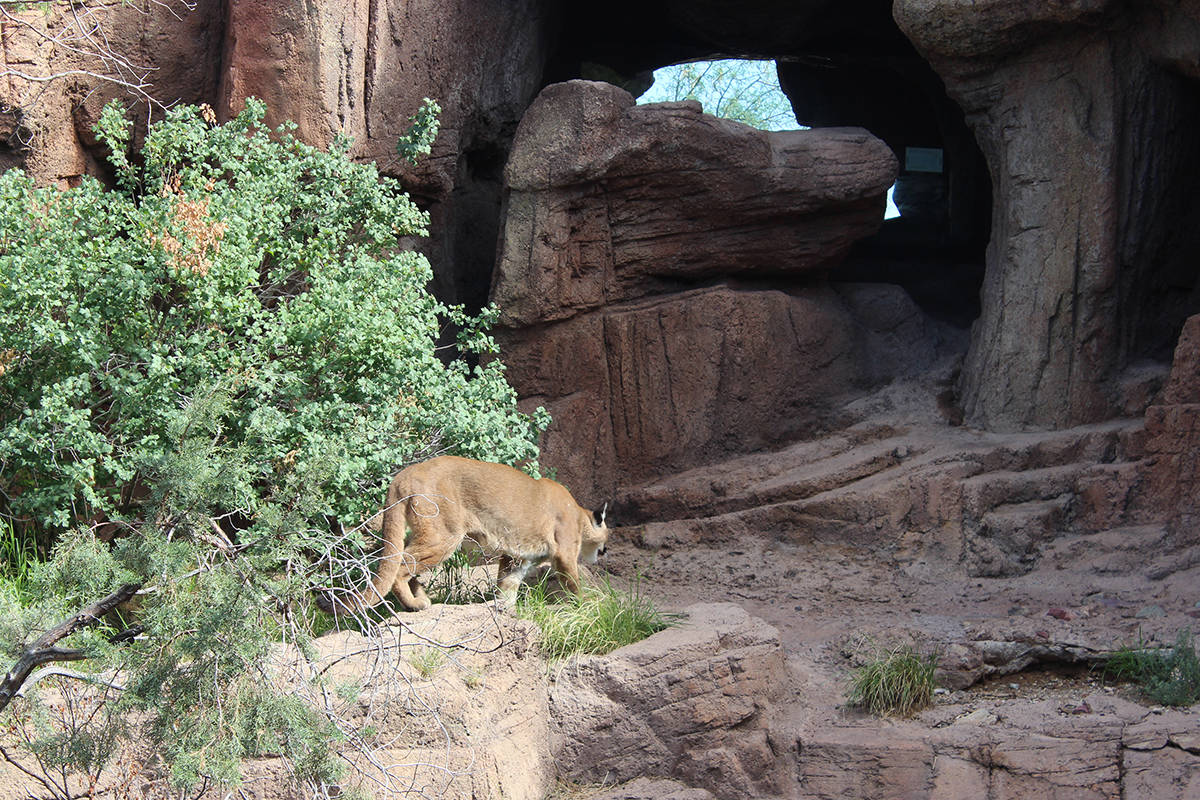 (Deborah Wall) A mountain lion often can be spotted in the Mountain Woodland habita ...