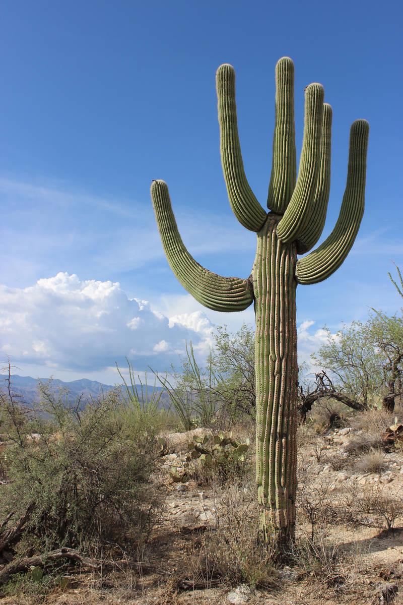 (DeborahWall) Saguaro National Park is named for the towering saguaro cactus, the signature p ...