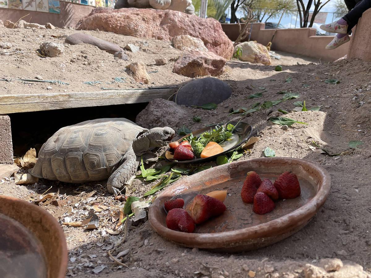 King Elementary School A desert tortoise enjoys the new habitat at the gardens at King Elementa ...