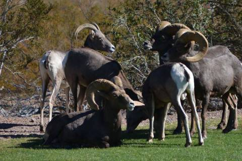 (Pernell Bryant/Special to the Boulder City Review) Bighorn sheep, seen at Hemenway Valley Park ...