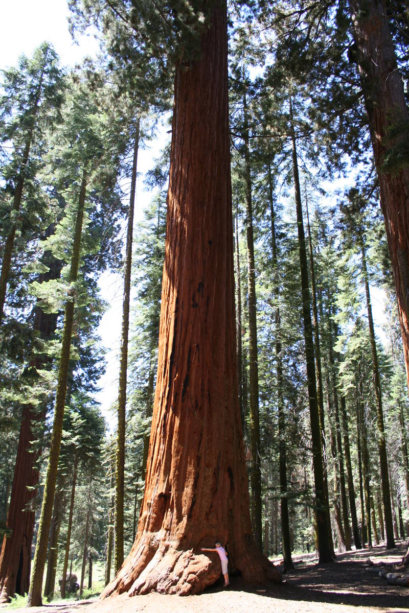 (Deborah Wall) Look closely and you'll see a tree hugger in California's Sequoia National Park.