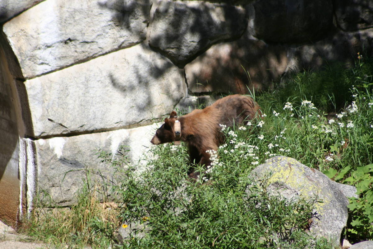 (Deborah Wall) American black bears are found throughout the Sequoia and Kings Canyon national ...