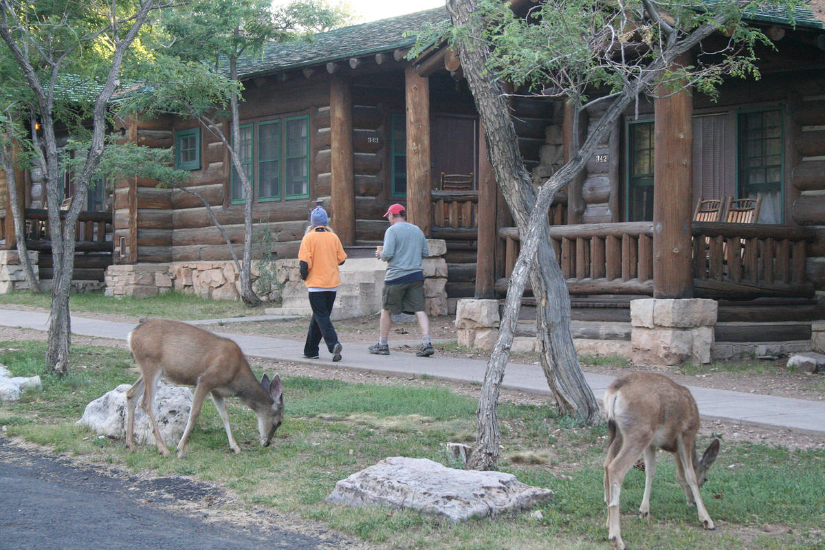 (Deborah Wall) Deer are commonly sighted throughout the North Rim at Arizona's Grand Can ...
