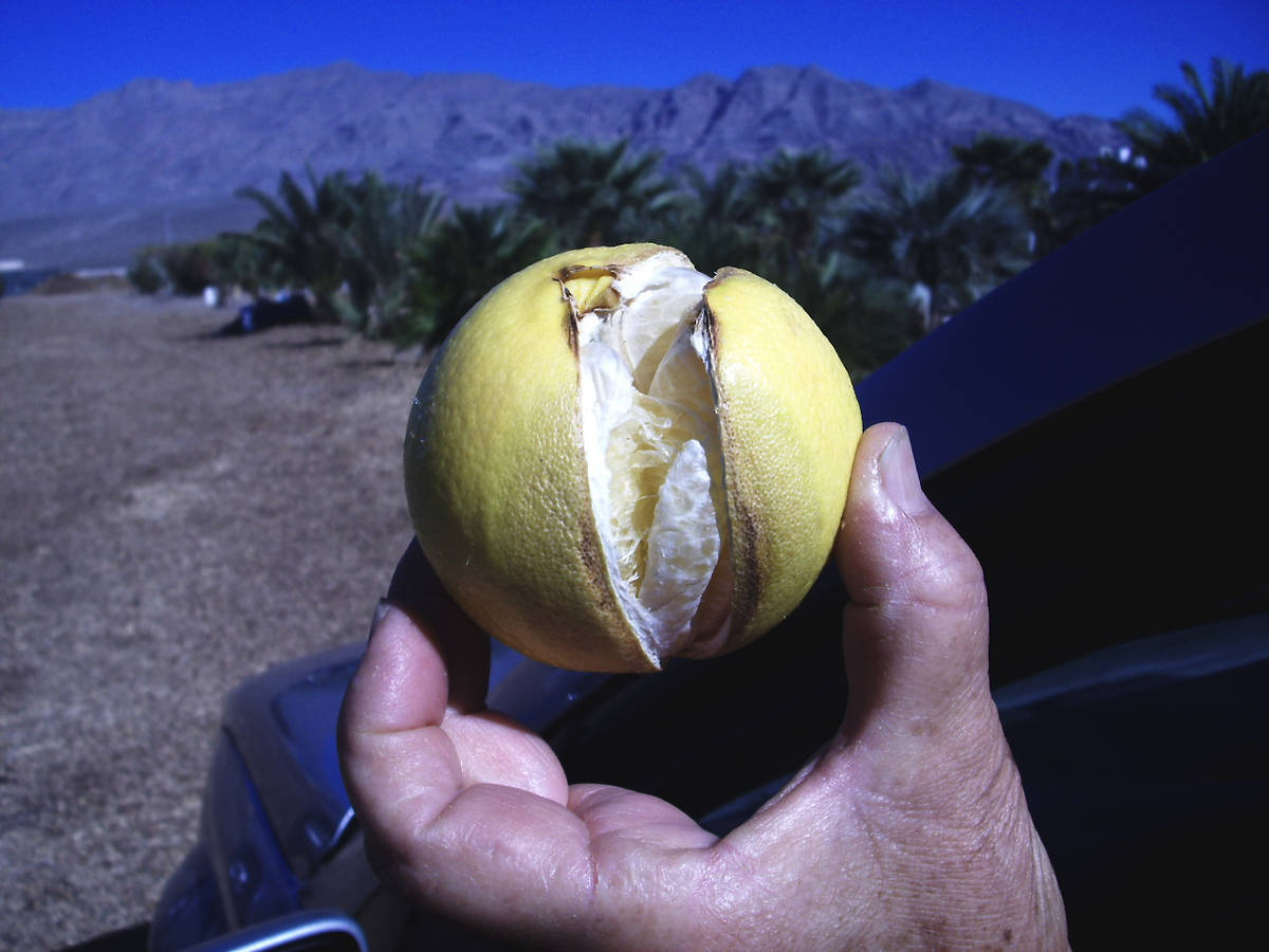 (Bob Morris) The skin or rind of fruit can split soon after an irrigation when the temperatures ...