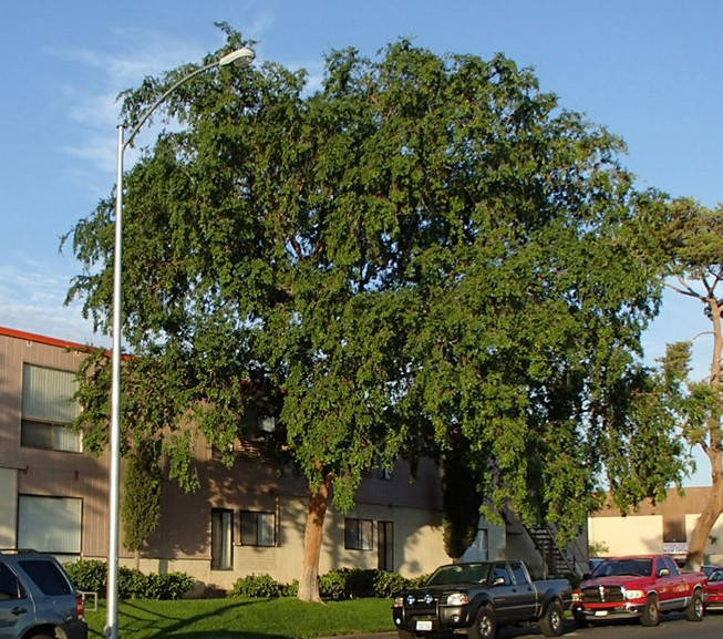 (Bob Morris) Chinese or evergreen elm trees can get large. They are best suited for parks and a ...