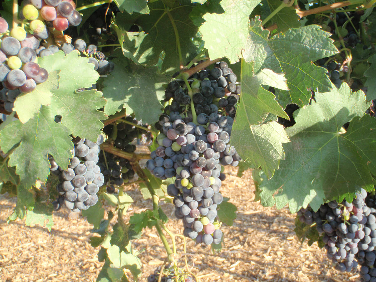 (Bob Morris) These Tempranillo grape clusters are nearly ready for harvest. They are produced u ...