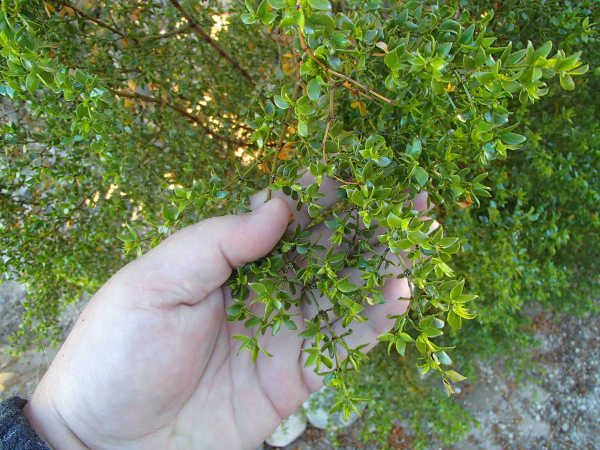 (Bob Morris) Creosote is one type of plant that has chemicals that cause allelopathy, which pre ...