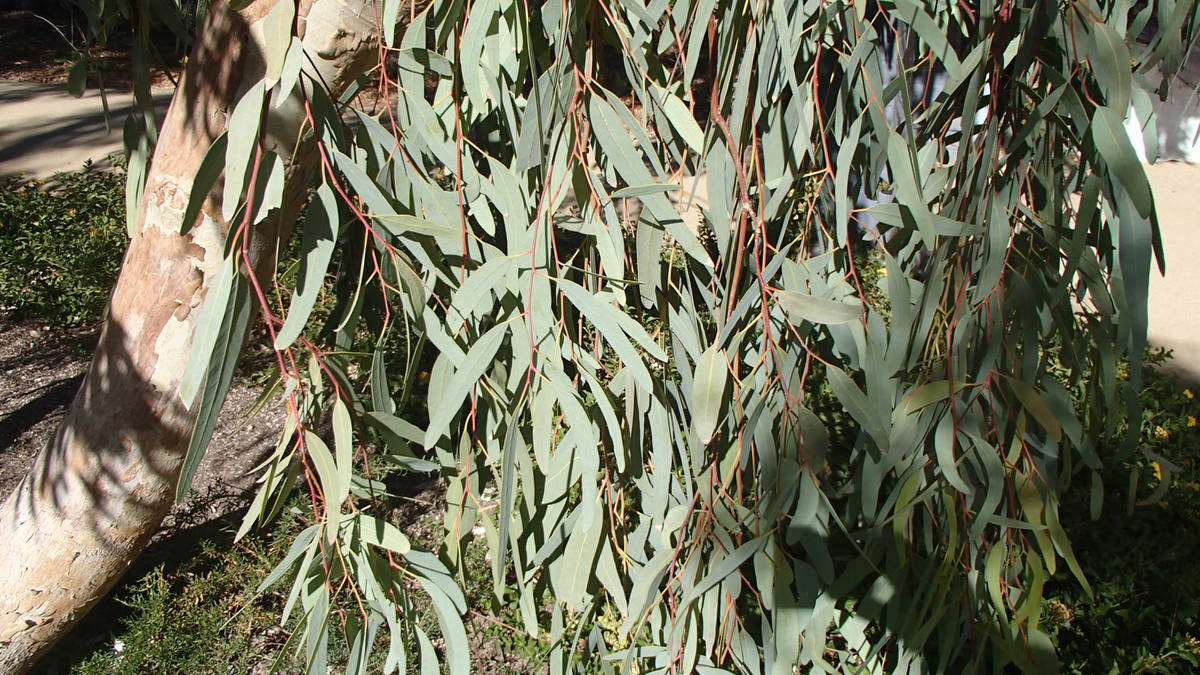 (Bob Morris) Do not use leaves, such as these from a eucalyptus tree, as mulch without composti ...