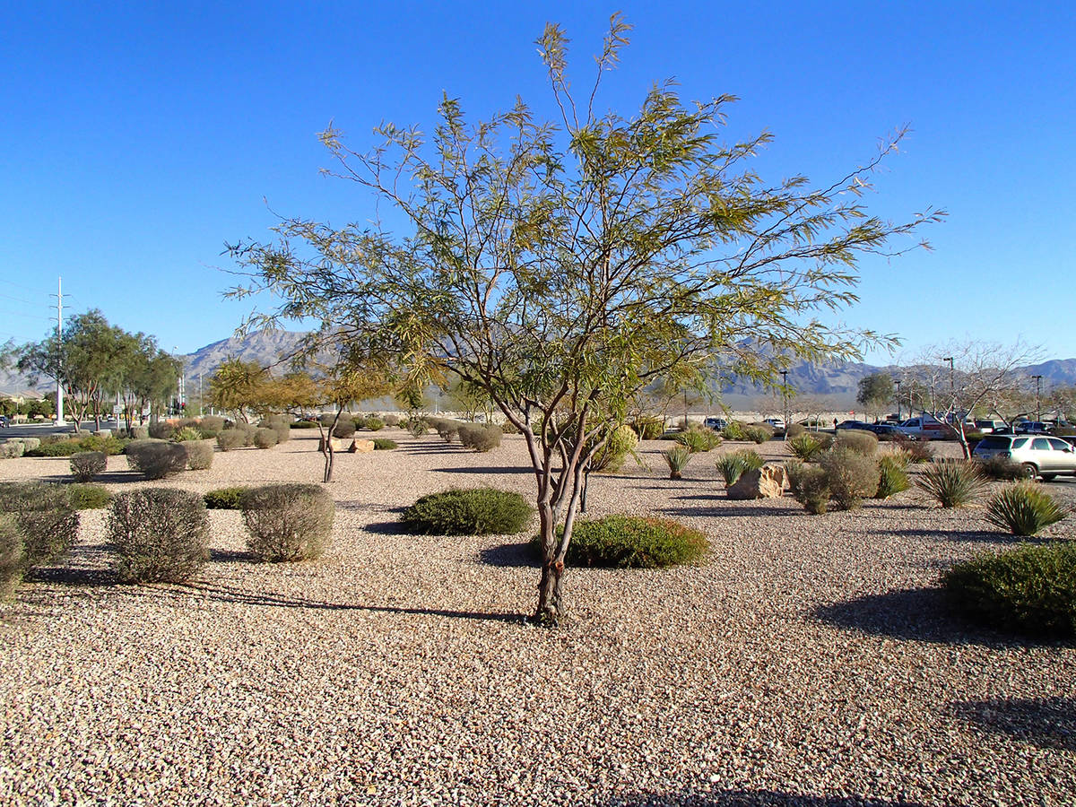(Bob Morris) This is a young mesquite tree. It should start to produce pods when it is between ...