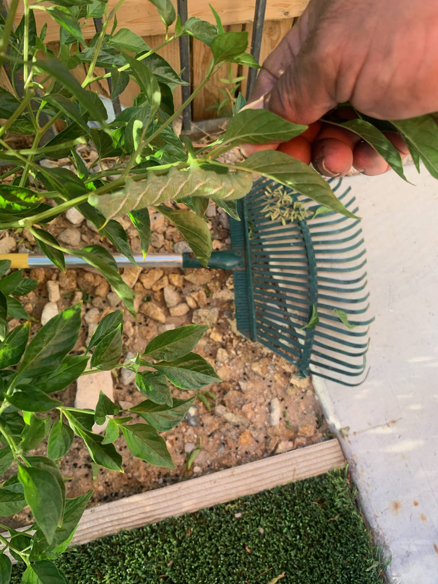 (Bob Morris) The recent rains may have encouraged a larger population of hornworms, which like ...