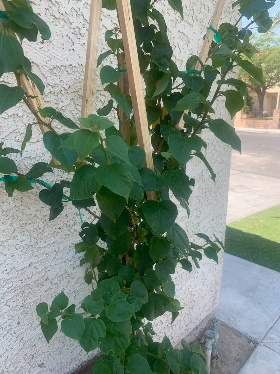 (Bob Morris) The small circular cuts out of this bougainvillea are from the female leaf cutter ...