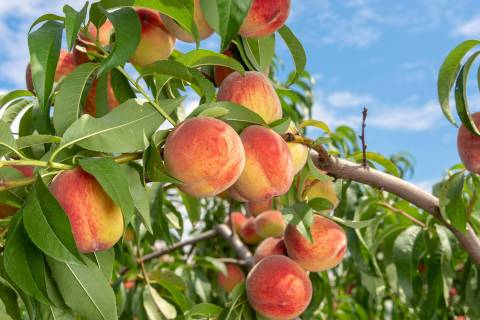 (Getty Images) Borers are the most common reason a single or several peach tree branches that f ...