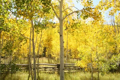 (Deborah Wall) Aspen groves can be found flanking Highway 143 just east of Cedar City in Utah.