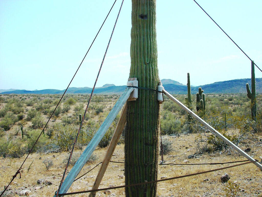 (Bob Morris) When a saguaro starts to lean, it needs to be propped up. Then, water should be ap ...