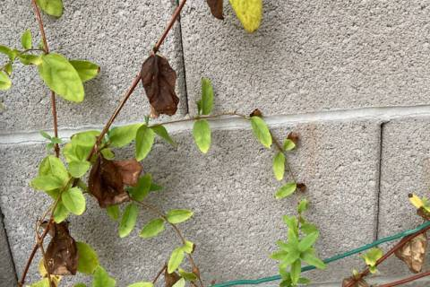 (Bob Morris) Heat radiating from a cement block wall can damage plants such as honeysuckle. The ...